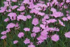 Dianthus Royaltyfri Fotografi