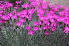 Dianthus Royaltyfri Foto