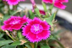 Dianthus fotografia stock