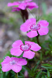 Dianthus alpinus. Is a species belonging to the Caryophyllaceae family Royalty Free Stock Photo