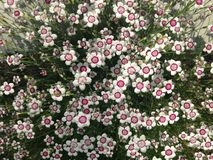 Dianthus. An arctic fire dianthus in full bloom with pink and white blossoms Stock Photo