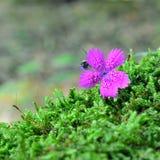 Dianthus Armeria, Gartennelke Lizenzfreie Stockbilder