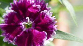 Dianthus barbarisch, Bartnelke lizenzfreies stockbild