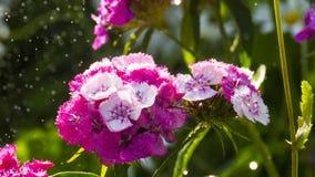 Dianthus barbatus Zdjęcie Royalty Free