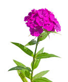 Dianthus barbatus. A shot of an isolated Dianthus barbatus flower Stock Image