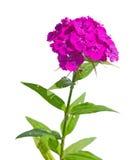 Dianthus barbatus Stock Image