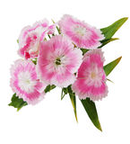 Dianthus Barbatus. Cluster of dianthus, isolated on white Stock Photo
