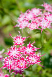 Dianthus barbatus. Carnation Stock Photos