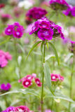 Dianthus barbatus Royalty Free Stock Image