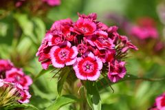 Dianthus Barbatus Flower Garden Planting Stock Photo. Dianthus Barbatus Dark Pink Flower Garden Planting Stock Photo stock photos