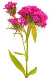 Dianthus barbatus flower Stock Image