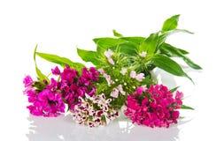 Dianthus barbatus flower Royalty Free Stock Image