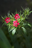 Dianthus barbatus flower Stock Photos