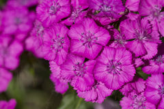 Dianthus barbatus flower Stock Images