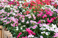 Dianthus barbatus. Stock Photo