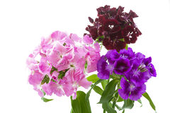 Dianthus Barbatus flowers on white background Stock Images