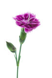 Dianthus barbatus garden flower or Sweet William. Isolated Royalty Free Stock Photography