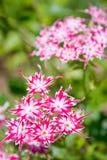Dianthus barbatus. Gartennelke Stockfotos