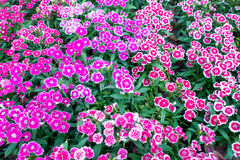 Dianthus barbatus for ground cover Stock Photo