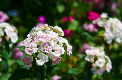 The dianthus barbatus Stock Photography