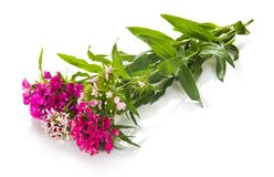 Dianthus barbatus kwiat Zdjęcie Stock
