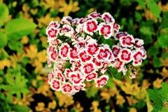 Dianthus barbatus kwiat Fotografia Royalty Free