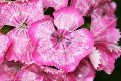 Dianthus barbatus mini carnations Royalty Free Stock Images