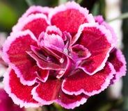 Dianthus barbatus 'Nanus' Royalty Free Stock Images