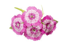 Dianthus barbatus pink flowers isolated Royalty Free Stock Photo