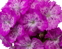 Dianthus barbatus pink flowers isolated on white Royalty Free Stock Photography
