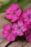 Dianthus barbatus pink flowers on the wooden table closeup. Royalty Free Stock Images