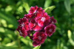 Dianthus barbatus pink and red Royalty Free Stock Photography