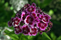 Dianthus barbatus pink and red Royalty Free Stock Image