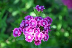 Dianthus Barbatus Flower Garden Planting Stock Photo. Dianthus Barbatus Pink Violet Tiny Flower Garden Planting Stock Photo stock images