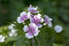 Dianthus barbatus plant in bloom. Flower detail, white, light pink and violet petals Royalty Free Stock Photo