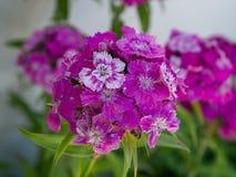 Dianthus barbatus plant stock images
