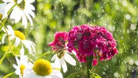 Dianthus barbatus Royalty Free Stock Photo