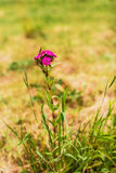 Dianthus barbatus Royalty Free Stock Photo