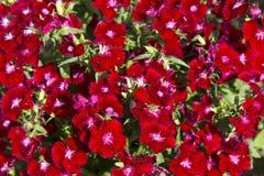 Dianthus barbatus red Royalty Free Stock Photo