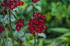 Dianthus barbatus Royalty Free Stock Photography