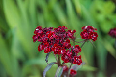 Dianthus barbatus Stock Photography
