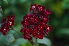 Dianthus barbatus Stock Images