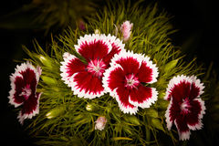 Dianthus barbatus Stock Photo