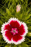 Dianthus barbatus Stock Images