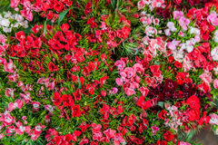 Dianthus barbatus (Sweet William) flowers. Bunch of blossoming and colorful (Sweet William) flowers Stock Photo