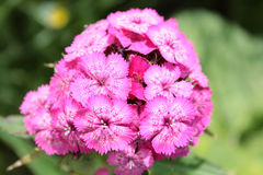 Dianthus barbatus (Sweet William) Royalty Free Stock Image