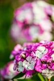 Dianthus barbatus Royalty Free Stock Image