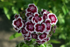 Dianthus barbatus white and red Stock Photography