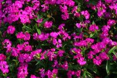 Dianthus beautiful royal park rajapruek. Royalty Free Stock Photos