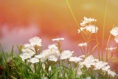 Dianthus bianco fotografie stock